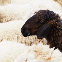 Black sheep and cans of worms: animal idioms, part 4