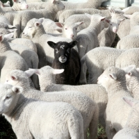 Black sheep and white lies (Idioms with colours, part 2)