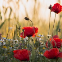 Shrinking violets and tall poppies (Idioms with nature words, part 1)